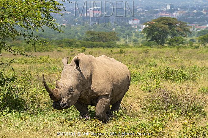 White rhinoceros (Ceratotherium simum), with backdrop of Nakuru City, Lake Nakuru National Park, Kenya, January.