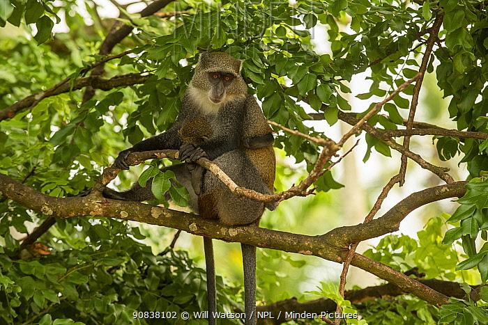 Zanzibar Sykes monkey (Cercopithecus mitis albogularis) mother holding young, Jozani Chwaka Bay National Park, Zanzibar. Tanzania. January.