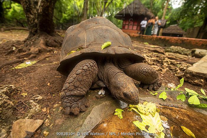 Free-roaming Aldabra giant tortoise (Geochelone gigantea), feeding on cabbage leaf, introduced onto Prison Island, Zanzibar, Tanzania. January.