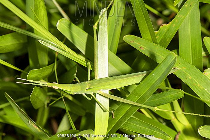 Common stick grasshopper (Acrida acuminata) camouflaged against leaves, Jozani Forest, Zanzibar, Tanzania. January.