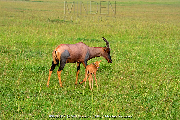 Female Topi (Damaliscus lunatus) with her young calf, Masai Mara National Park, Kenya, January.
