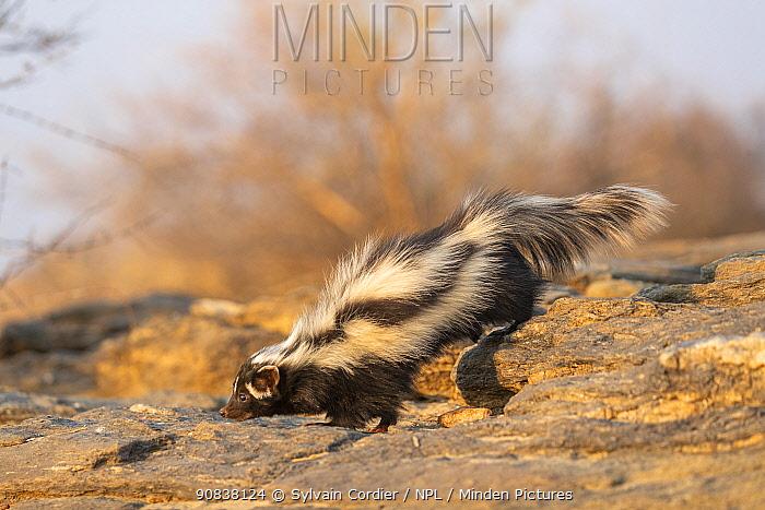 Striped / African Polecat (Ictonyx striatus), Private reserve, Namibia. September. Captive.