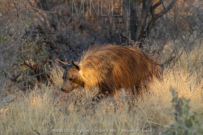 Brown hyaena (Parahyaena brunnea) walking through dry grass, Private reserve, Namibia. September. Captive