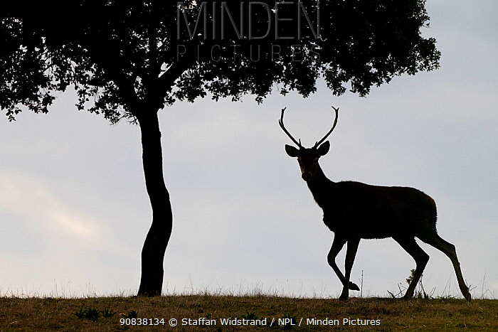 Red deer stag (Cervus elaphus) and a Holm oak tree (Quercus ilex) silhouetted Parque Natural Sierra de Andujar, Andalucia, Spain. January.