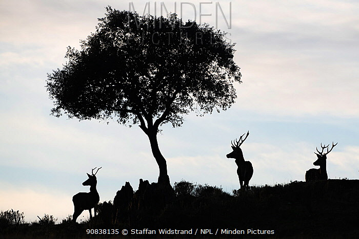 Red deer stags (Cervus elaphus) and a Holm oak tree (Quercus ilex) silhouetted Parque Natural Sierra de Andujar, Andalucia, Spain. January.