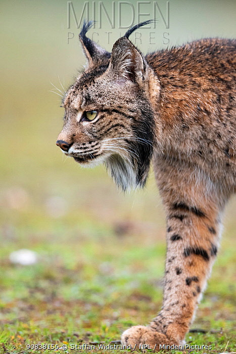 RF - Iberian lynx (Lynx pardinus) walking, Parque Natural Sierra de Andujar, Andalucia, Spain. January. (This image may be licensed either as rights managed or royalty free.)