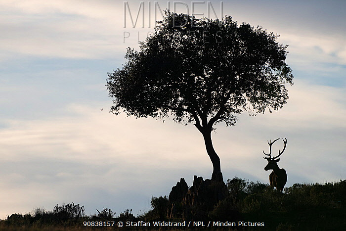 Red deer stag (Cervus elaphus) and a Holm oak tree (Quercus ilex) silhouetted, Parque Natural Sierra de Andujar, Andalucia, Spain. January.