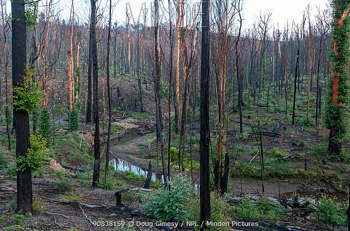 Martins Creek and surrounds approx 5 months after 2019/20 bushfires devastated the area. The edge of the creek originally had wet temperate rainforest along its edge, bounded by wet and damp forest. Martins Creek Scenic Reserve, Nurran, Victoria, Australia. June, 2020. See image 1642331 for what this scene looked like in the immediate wake of the bushfire.