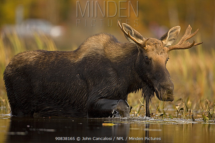 Moose (Alces alces) young bull in Tupper Lake, Adirondack Mountains, New York, USA, October.