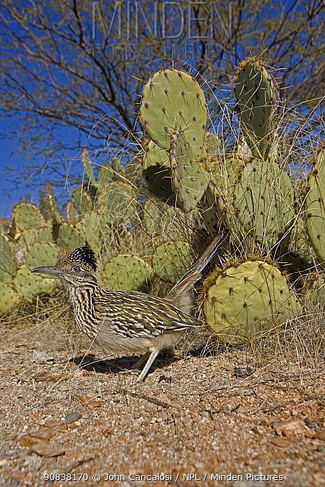 Greater roadrunner (Geococcyx californianus) in Sonoran Desert Setting, Arizona, USA, February.