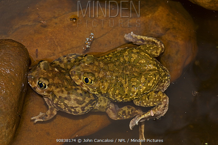 Couch's spadefoot toads (Scaphiopus couchii) mating, Arizona, USA.