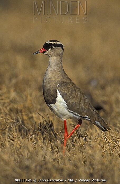 Crowned plover (Vanellus coronatus), South Africa