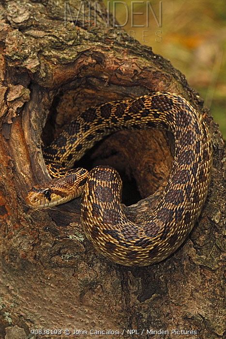 Pacific gopher snake (Pituophis melanoleucus catenifer), Captive, USA