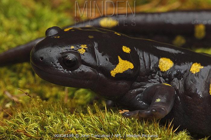 Spotted salamander (Ambystoma maculatum) New York, USA.