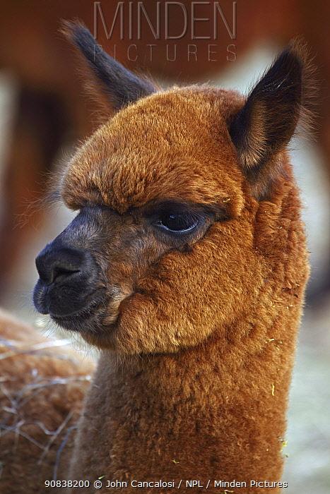 Alpaca (Lama pacos) portrait, New York, USA.
