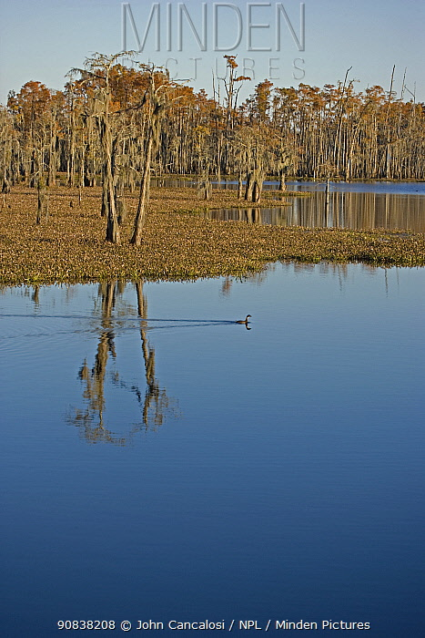 Bald Cypress Tree Swamp (Taxodium distichum) in Louisiana, USA, November.