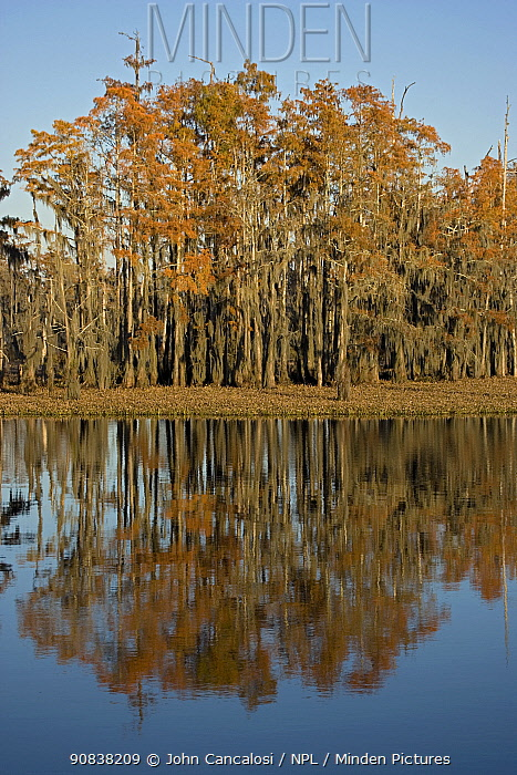 Bald Cypress trees with autumn reflections in swamp (Taxodium distichum), Louisiana, USA,