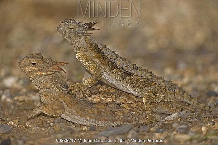 Regal horned lizards (Phrynosoma solare) mating, Sonoran Desert, Arizona, USA. July.