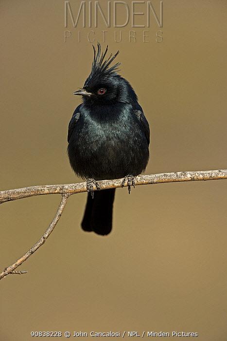 Phainopepla (Phainopepla nitens), male, Sonoran desert, Arizona, USA. February.