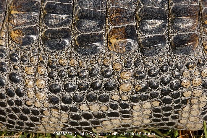 American aligator (Alligator mississippiensis), close up of skin, Louisiana, USA. November.