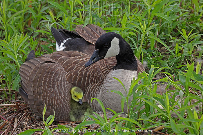 Canada Goose (Branta canadensis) on nest with goslings, New York, USA.