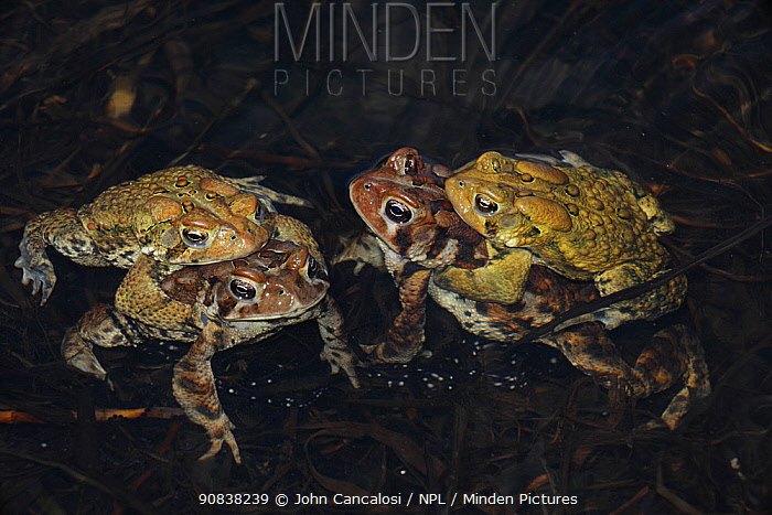American toad (Bufo americanus) two pairs in amplexus, New York, USA