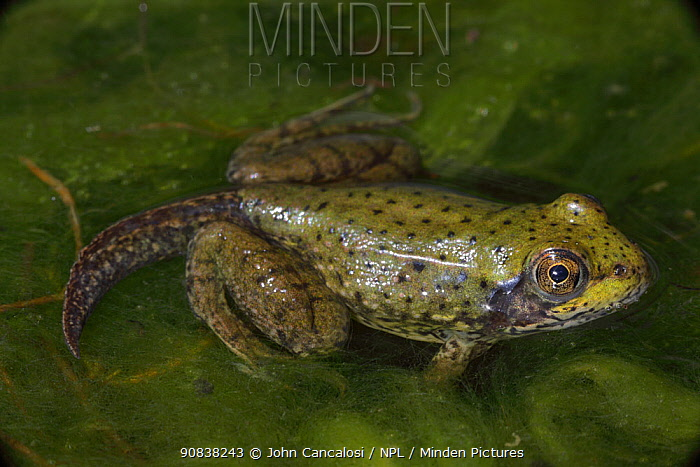 Green Frog (Rana clamitans) nearly metamorphosed frog showing remnants of tadpole tail, New York, USA