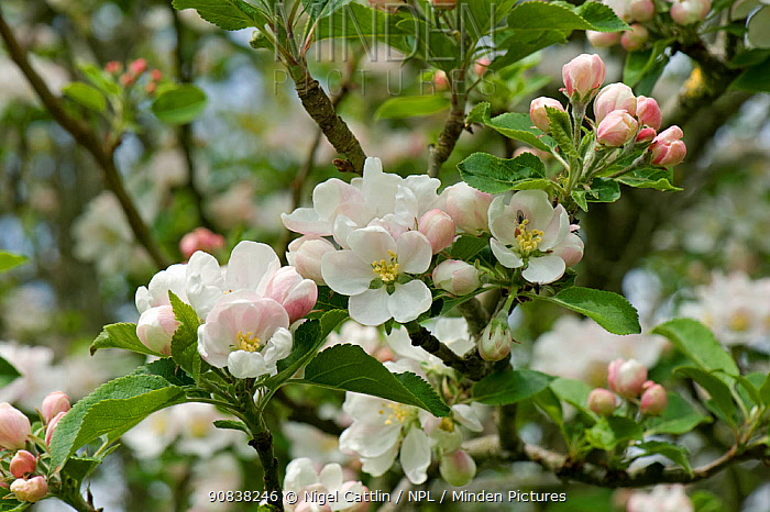 Blossom on a Discovery apple tree in a spring garden, Devon, May