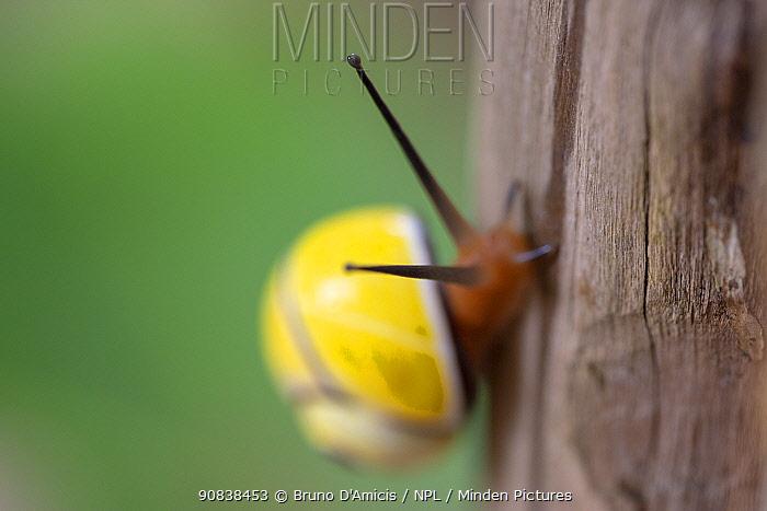Cuban tree snail (Polymita picta nigrolimbata) in Humboldt National Park, Cuba. Endemic