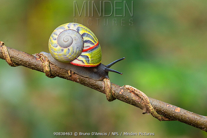 Cuban tree snail ( Polymita sulphurosa) collected near Moa, Cuba, Endangered
