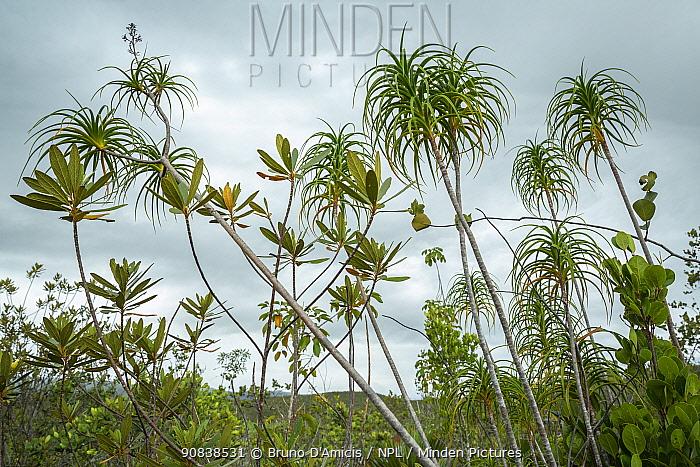Moa dragon tree (Dracaena cubensis) in schlerophyllous low forest (charrascal) along the coast near Yamaniguey, Cuba.