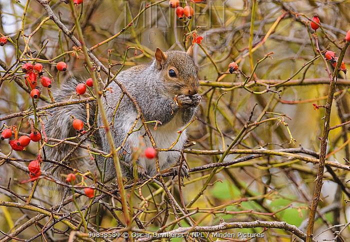 Grey squirrel (Sciurus carolinensis) feeding on rose hips. London, England, UK, November.