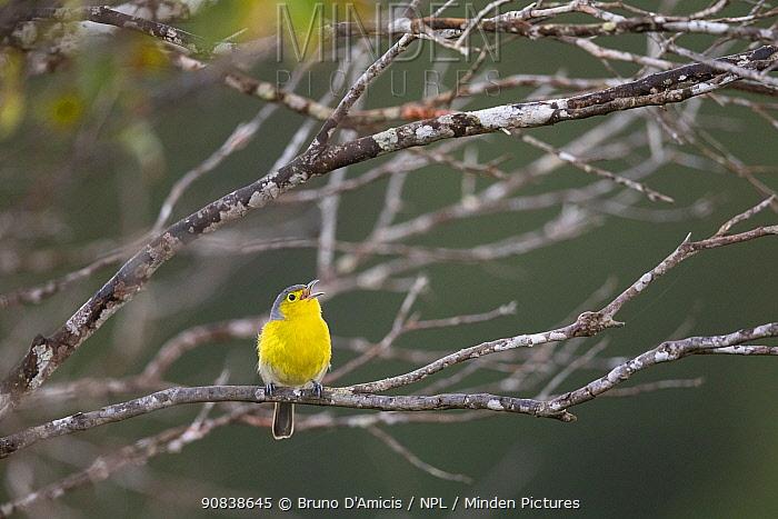 Oriente warbler (Teretistris fornsi) singing in Humboldt National Park. Endemic species to Cuba.