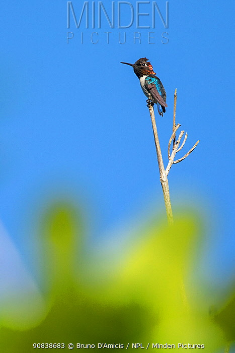 Bee hummingbird (Mellisuga helenae) male. World's smallest bird, endemic to Cuba. Humboldt National Park, Cuba.