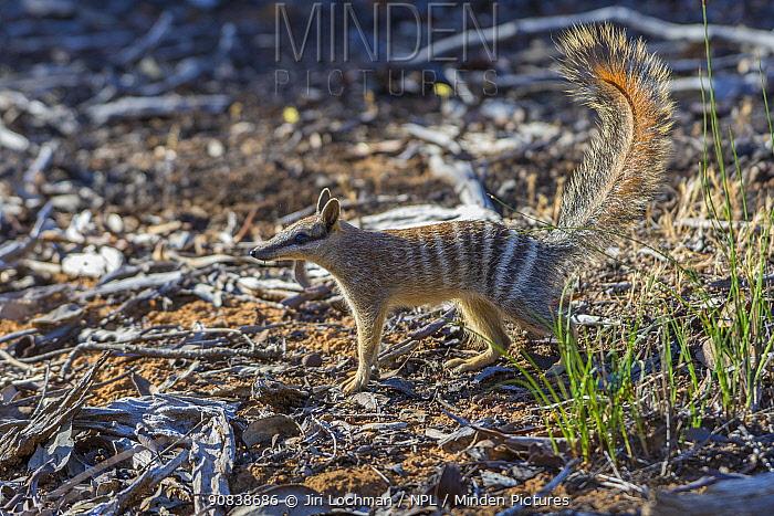 Numbat (Myrmecobius fasciatus) Wheatbelt Region, Western Australia