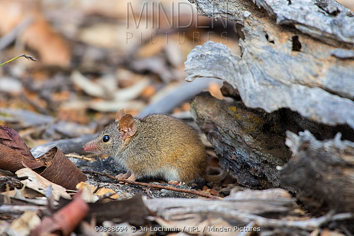 Yellow-footed Antechinus (Antechinus flavipes subsp. leucogaster) Wheatbelt Region of Western Australia, September.
