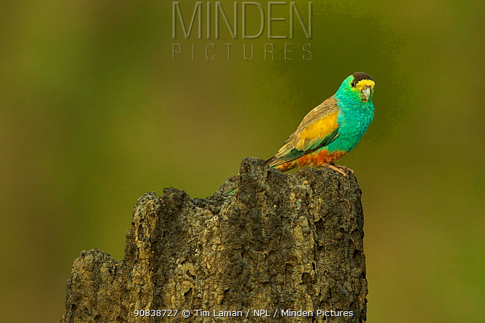 Golden-shouldered parrot (Psephotellus chrysopterygius) male perched on termite mound containing his nest cavity. Cape York Peninsula, Queensland, Australia. May.
