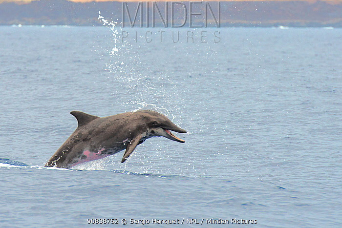 Rough-toothed dolphin (Steno bredanensis) porpoising, El Hierro, Canary Islands.