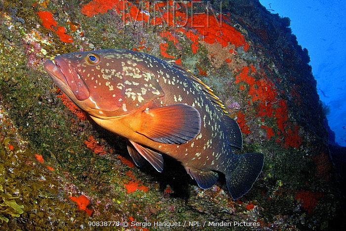 Dusky grouper (Epinephelus marginatus) El Hierro, Canary Islands.