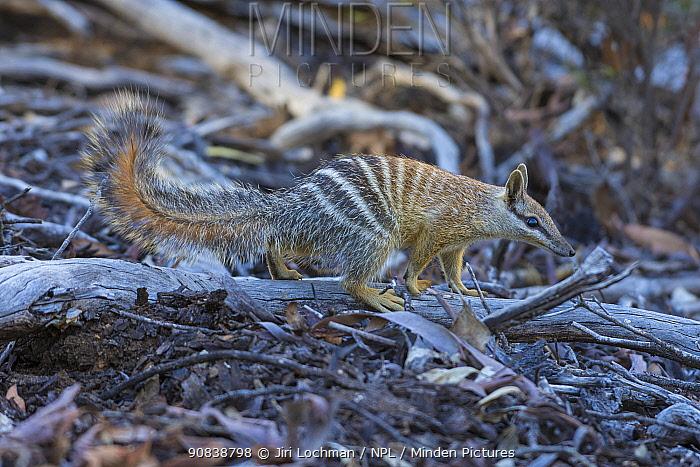 Numbat (Myrmecobius fasciatus), Wheatbelt Region, Western Australia.