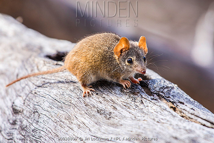 Yellow-footed antechinus (Antechinus flavipes leucogaster), Wheatbelt Region, Western Australia.