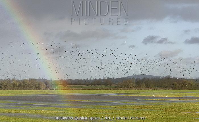 Lapwing (Vanellus vanellus) flock flying past a rainbow over partially flooded pastureland, Gloucestershire, UK, January.