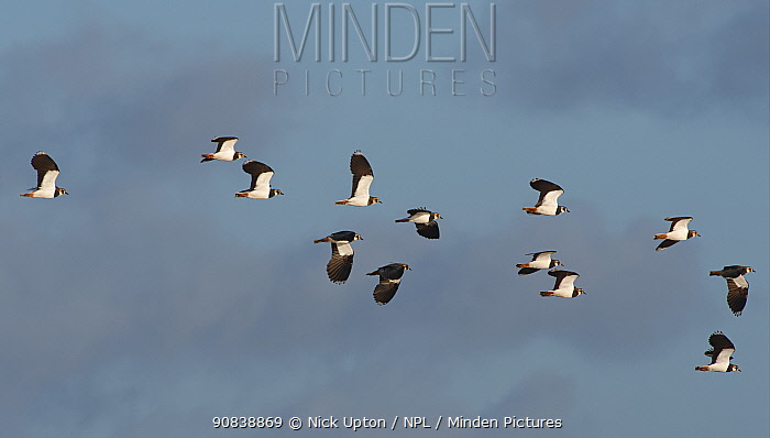 Flock of Lapwings (Vanellus vanellus) in flight against a blue sky, Catcott Lows National Nature Reserve, Somerset, UK, January.