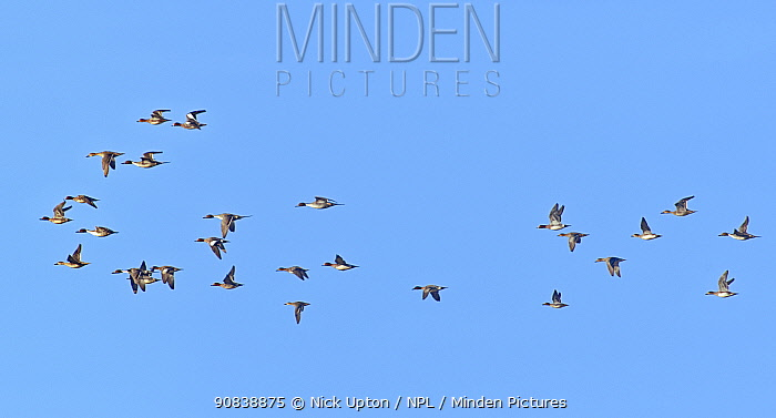 Northern pintail (Anas acuta) and Wigeon (Anas penelope) mixed species group in flight overhead, RSPB Otmoor reserve, Oxfordshire, UK, January.