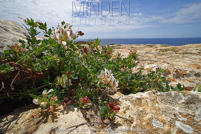 Hairy Canary clover (Dorycnium hirsutum) flowering on limestone cliff tops, Majorca south coast, May.