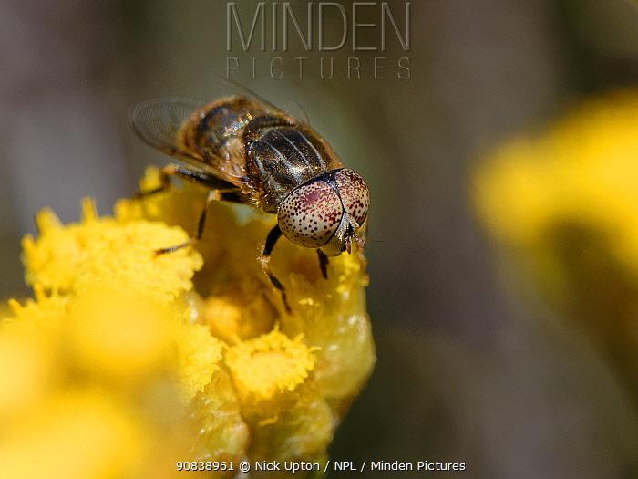 Shore hoverfly (Eristalinus aeneus) nectaring on Eternal / Everlasting flower (Helichrysum stoechas) clump flowering on sand dunes, Mondrago Natural Park, Majorca south coast, May.