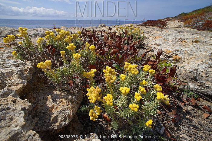 Eternal / Everlasting flower (Helichrysum stoechas) clump flowering on limestone cliff tops, Majorca south coast, May.