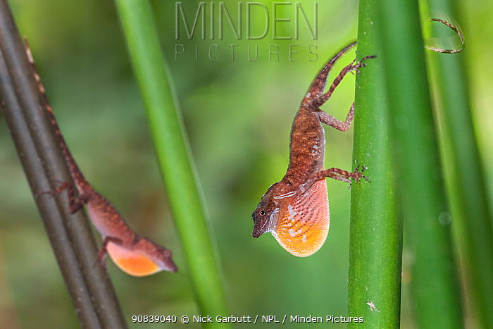 Male Anole Lizards (Anolis sp) in territorial display to each other. Rainforest canopy, Rio Claro Reserve, Magdalena Valley, Colombia, South America.