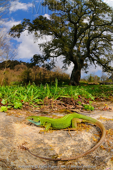 Western green lizard (Lacerta bilineata) female basking in habitat near a Cork Tree, Sicily, Italy.