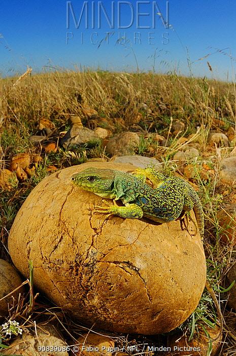 Ocellated lizard (Timon lepidus) Europe.